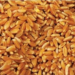 Pšenica 10 KG