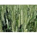 Ozimna žita